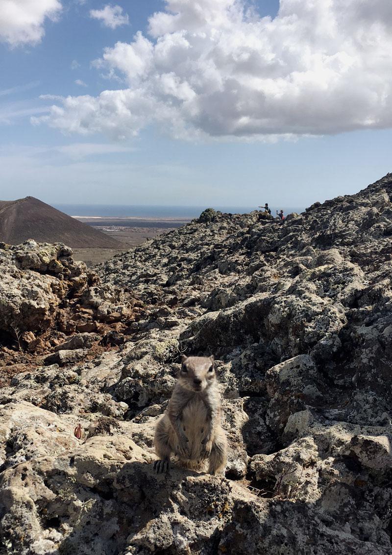 streifenhoernchen-vulkan-fuerteventura